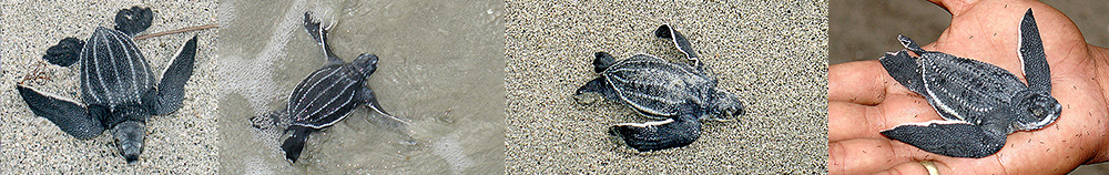 Leatherback sea turtle babies